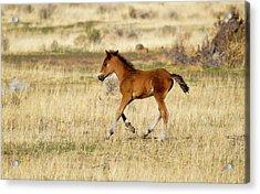 Cute Wild Bay Foal Galloping Across A Field Acrylic Print