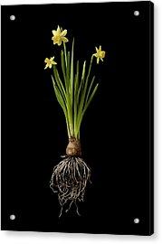 Daffodil Plant On Black Background Acrylic Print by William Turner