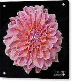 Acrylic Print featuring the photograph Dahlia  by Ann Jacobson