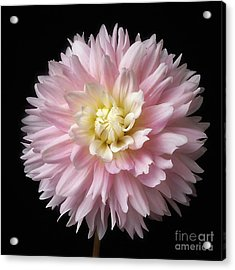 Acrylic Print featuring the photograph Dahlia 'chilson's Pride' by Ann Jacobson