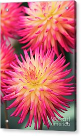 Acrylic Print featuring the photograph Dahlia Josudi Tel Star Flowers  by Tim Gainey