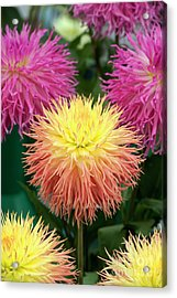 Acrylic Print featuring the photograph Dahlia Normandie Frills Flowers by Tim Gainey