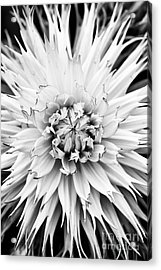 Acrylic Print featuring the photograph Dahlia Normandie Frills Monochrome by Tim Gainey