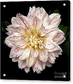 Acrylic Print featuring the photograph Dahlia 'picasso' by Ann Jacobson