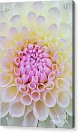 Acrylic Print featuring the photograph Dahlia Ryecroft Brenda T Flower by Tim Gainey