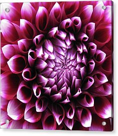 Dahlia_0722_13 Acrylic Print