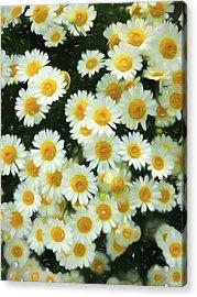 Daisy Crazy For You Acrylic Print