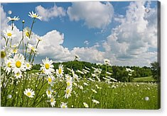 Daisy Meadow Summer Pastoral Acrylic Print by Fotovoyager