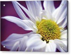 Daisy Mine Acrylic Print