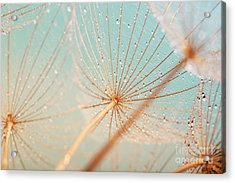 Dandelion Flower With Water Drops Acrylic Print