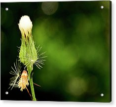 Dandelion Party Acrylic Print