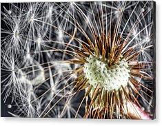 Dandelion Seed Pod Acrylic Print