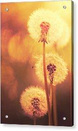 Dandelion Summer Acrylic Print by Lordrunar