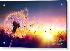 Dandelion To Sunset - Freedom To Wish Acrylic Print