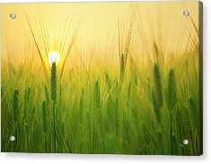 Dawn At The Wheat Field Acrylic Print