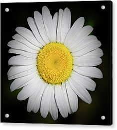 Day's Eye Daisy Acrylic Print