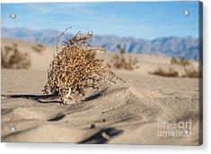 Dead Sagebrush Lies On Sand In Desert Acrylic Print