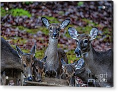 Deer Gathering Acrylic Print