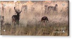 Deer In The Grasses Acrylic Print
