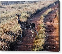 Deer Posing Acrylic Print