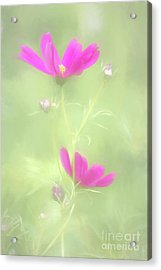 Delicate Painted Cosmos Acrylic Print