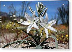 Desert Lily Acrylic Print by Robin Street-Morris