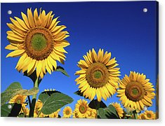Detail Of Sunflowers, Tuscany, Italy Acrylic Print by John Elk Iii