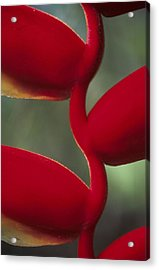 Detail Of The Heliconia Flower In Acrylic Print by Veronique Durruty
