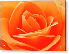 Detailed Close Up Of A Rose Acrylic Print