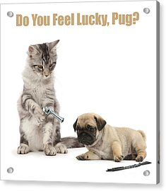 Acrylic Print featuring the photograph Do You Feel Lucky, Pug by Warren Photographic