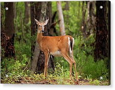 Doe, A Deer, A Female Deer Acrylic Print