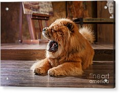 Dog Breed  Chow Chow, Red Dog On A Acrylic Print