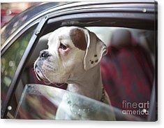 Dog In A Car Acrylic Print