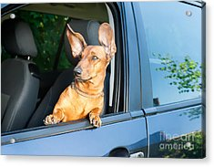 Dog Travel By Car Looking Out Of The Acrylic Print