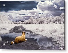 Acrylic Print featuring the photograph Doggy Daydream by Nicole Young
