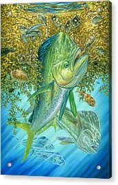 Dorados Hunting In Sargassum Acrylic Print