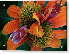 Acrylic Print featuring the photograph Double Coneflower by Dale Kincaid