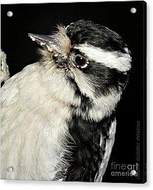 Downy Woodpecker Female Acrylic Print