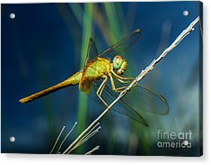 Dragonflies, Insects, Animals, Nature Acrylic Print