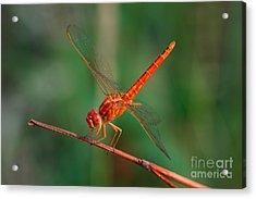Dragonfly, Macro Dragonfly, Dragonfly Acrylic Print