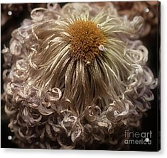 Acrylic Print featuring the photograph Dried Chrysanthemum 'satin Ribbon' by Ann Jacobson