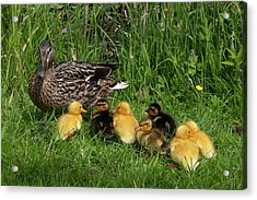 Duck And Cute Little Ducklings Acrylic Print