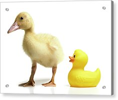 Duckling And Rubber Duck Acrylic Print by Fuse