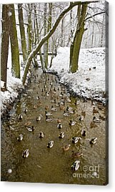 Ducks Anas Platyrhynchos On The River Acrylic Print