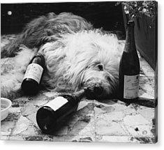 Dulux Dog Drunk Acrylic Print by Michael Webb