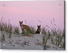 Acrylic Print featuring the photograph Dune Foxes by Robert Banach
