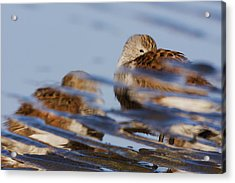 Dunlin, Reflection Of Resting Bird Acrylic Print