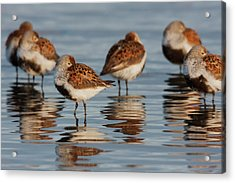 Dunlin, Resting During Spring Migration Acrylic Print