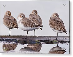 Dunlins Acrylic Print by Hiroyuki Uchiyama