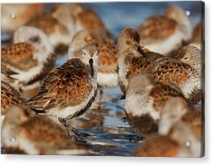 Dunlins Resting During Migration Stop Acrylic Print